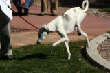 Sally (cq) ,a royal breed Saluki from Kuwait, walks after being fitted with her first temporary...