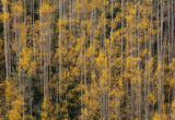 DM3890  A grove of golden aspens begins to shed its leaves near the top of the Las Animas Canyon...