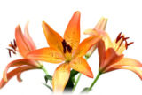 three lily over white. shallow depth of field with focus on front stamen.
