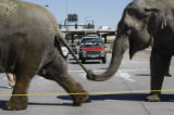Motorist with a front row seat watch as the elephant from Ringling Bros. Barnum and Bailey Circus...