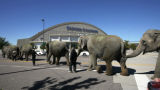 Elephants with the Ringling Bros. and Barnum & Bailey Circus head into their home away from...