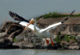(DENVER  COLO., May 19, 2004 ) ROCKY MOUNTAIN ADVENTURE ONLY.  An American White Pelican takes off...