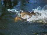 A male carp erects its dorsal fin in a spawning display at Jackson Reservoir. (ED DENTRY/ROCKY...