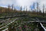 A late spring snow decorates burned trees, while wildflowers bloom in the Hayman fire area, near...