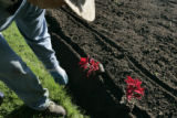 Guillermo Martinez (cq) planting coleus in Washington Park,  in Denver Colo. on Thursday, May 24,...