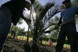 Ross Rivera (cq) and Jerome Gomez (cq) finish planting a palm in Washington Park,  in Denver Colo....