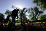 Ross Rivera (cq) finishes the planting of a palm in Washington Park,  in Denver Colo. on Thursday,...