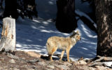 A coyote hunts for food at Echo Lake  near Mt. Evans on Friday May 25,2007. The Mt. Evans Road...