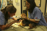 left to right, Cendrillon Savariau, a Veterinary Assistant, shaves one of the Nebraska dogs before...
