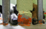 DLM6230  Paint chips away from the wall as two dogs peer out of their cages at the Denver...