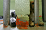 DLM6231  Paint chips away from the wall as two dogs peer out of their cages at the Denver...