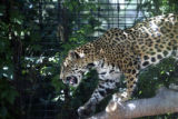 The Denver Zoo's female jaguar Caipora, who they acquired two months ago, walks across a branch in...