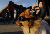 Bernie the Dog (cq) wears his shades and sports a Colorado Rockies jersey on Blake Street near...