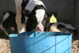 Dairy cow number 3722 at the Aurora Organic Dairy Farm in Platteville on Friday September 28,2007...