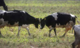 Two dairy cows play in a pasture at the Aurora Organic Dairy Farm in Platteville on Friday...