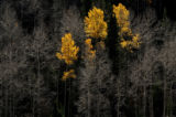 MJM175  Aspens show a last gasp of color as it is surrounded by barren branches Thursday Oct. 11,...