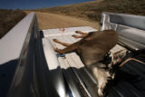 MJM643 A dead dear lays in the back of a Division of Wildlife truck on top of the Roan Platuea...