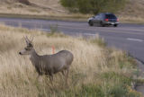 DM0683     A deer grazes about 200 yards south of where the West Corridor will run along Sixth...