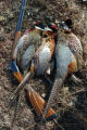 Ed Dentry photo for Nov. 9, 2007 It takes a lot of bushwhacking to bag a limit of pheasants. The...