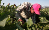 Ricardo Ruiz, a guest worker at the Petrocco Farms in Brighton, picks eggplants Tuesday August 21,...