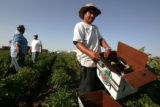 Jose Carmen Moralez, right, a guest worker at the Petrocco Farms in Brighton, picks eggplants...