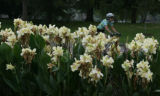 The flower beds in full bloom are a good view for visitors to  Washington Park, in Denver, Colo....