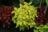 Mixing the coleus in the flower beds are in full bloom in Washington Park, in Denver, Colo. on...