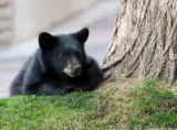 Zach Ornitz/Aspen Daily News A bear cub rests at the base of a tree containing its mother and...