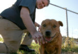 Romeo, full grown male Chow-mix dog gets a chance to spend some time outside the Denver Animal...