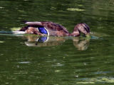 A duck feeds near the shoreline of Duck Lake in City Park Tuesday , September 4,2007. The Colorado...