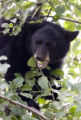 Zach Ornitz/Aspen Daily News A bear cub munches on apples in a tree behind City Hall in downtown...