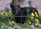 Zach Ornitz/Aspen Daily News A small bear cub munches on crab apples at the base of a tree on the...