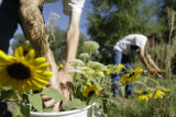 Aaron Brachfeld(cq) puts sunflowers in a bucket as his wife, Mary Choate(cq) clips more on the...