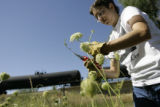 Mary Choate(cq) clips carrot flowers on the land she rents in Arvada, Colorado on Wednesday, Aug....