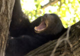 Clifton, Colo.-September 7,2004- A large Black Bear made himself at home high up an Oak tree in...