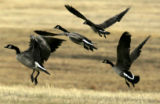 Geese take to flight near a stretch of land near Riverdale RD., just along the strip of land that...