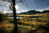 0031 Cows gather for an afternoon drink from a pond on the Shanahan Ranch in Boulder County,...