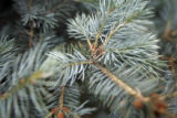 NOT A REAL ASSIGNMENT - DO NOT PUBLISH   Pine needles allegedly release noxious gasses in Denver,...
