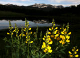 A patch of Golden Banner grows near a small pond off hwy 119, Wednesday morning, June 13, 2007,...