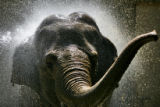 DLM0156  Mimi, a 48-year-old Asian elephant at the Denver Zoo, gets cooled down with a firehose by...