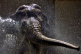 DLM0166  Mimi, a 48-year-old Asian elephant at the Denver Zoo, gets cooled down with a firehose by...