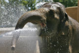 DLM1153  Mimi, a 48-year-old Asian elephant at the Denver Zoo, gets cooled down with a firehose by...