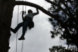 Harv Teitelbaum (cq) of Evergreen, Colo., climbs a ponderosa pine named Gus-Otis in Evergreen,...