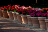 Pots filled with different kinds of geraniums soak up the afternoon sun, Monday evening, July 2,...