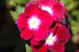 (9/15/04, Denver, CO) Vinca, Burgundy with White Eye at the  Welby Test Garden  (JUDY...
