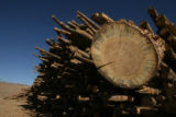 Stacks of pine trees, killed by bark beetles, sit in the yard of Confluence Energy's new facility,...