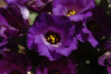 (9/15/04, Denver, CO) Eustoma, Forever Blue at the  Welby Test Garden  (JUDY WALGREN/ROCKY...