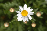 (9/15/04, Denver, CO)  Argyranthemum, Marguerite Daisy White at the  Welby Test Garden  (JUDY...
