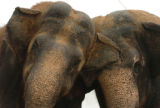 (DENVER, COLO., OCTOBER 6, 2004) -   Female elephants from the Barnum & Bailey Circus rub...