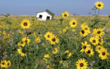 All of the recent rains have turned the eastern plains into gold as Black-Eyed Susans  cover the...